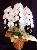 【御祝用胡蝶蘭】胡蝶蘭スタンダードホワイト【白】3本立